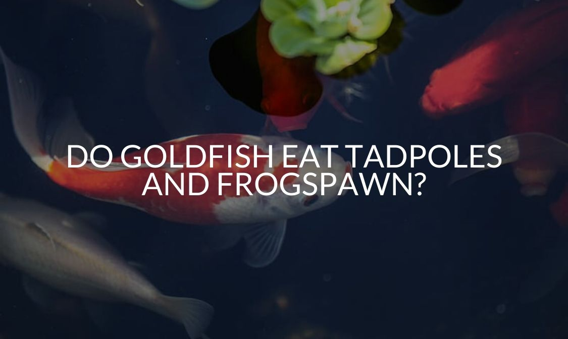 Do Goldfish Eat Tadpoles And Frogspawn_