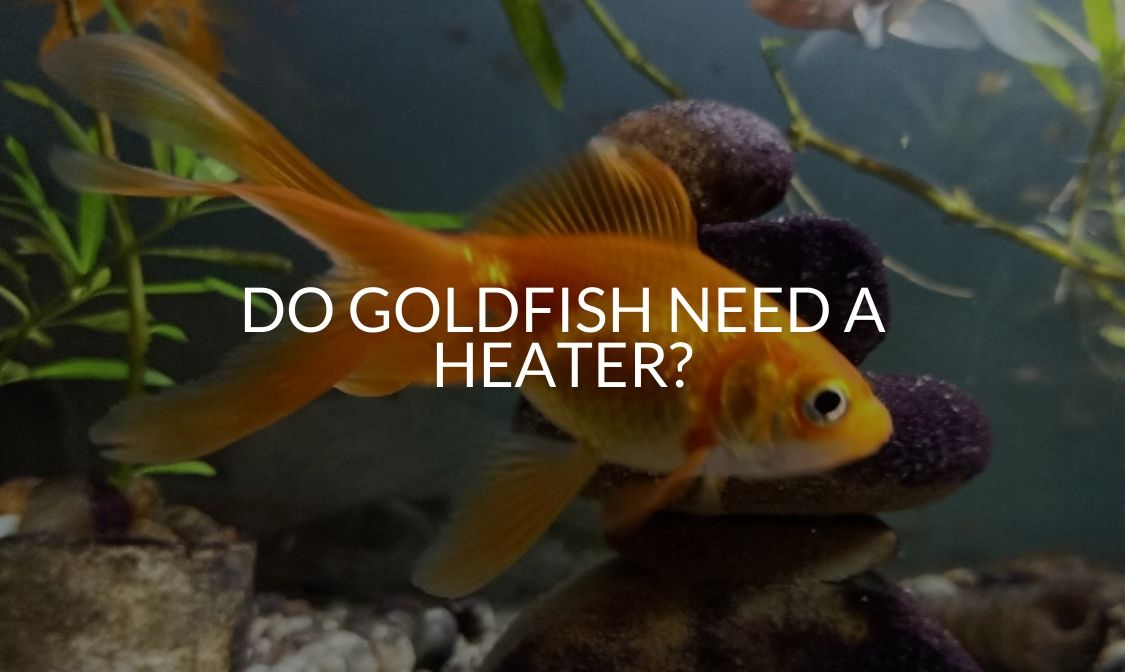 Do Goldfish Need A Heater_