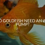 Do Goldfish Need An Air Pump?
