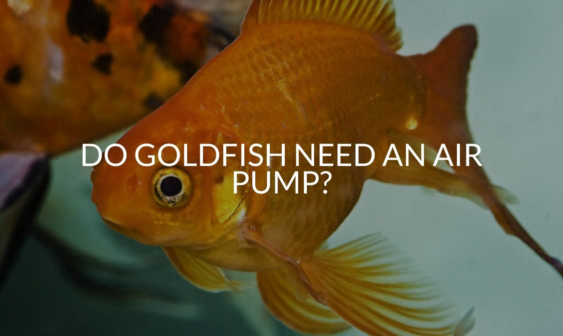 Do Goldfish Need An Air Pump_