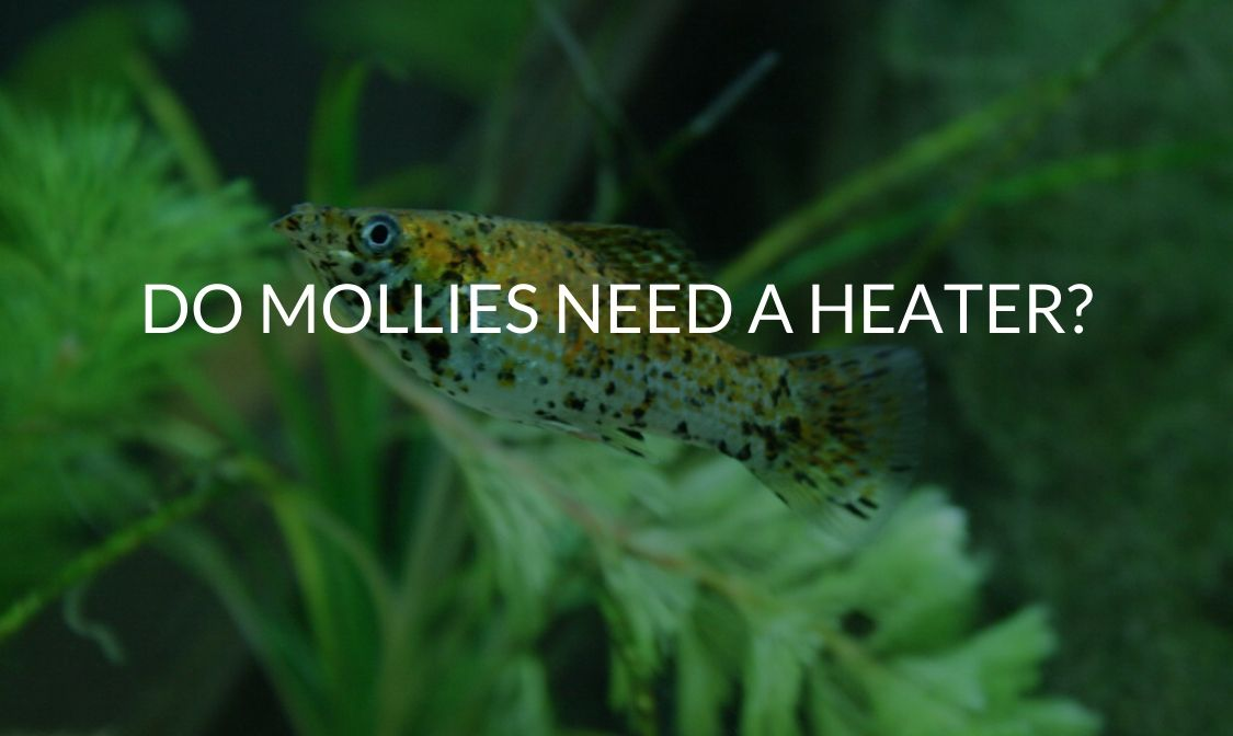Do Mollies Need A Heater_