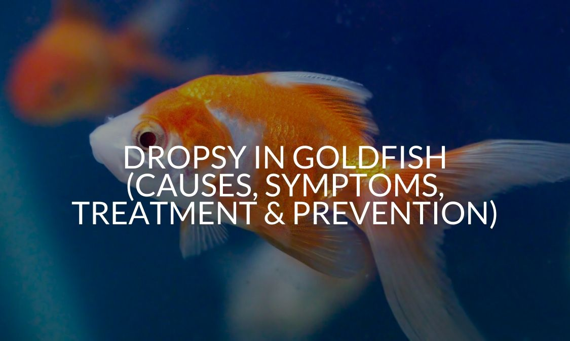Dropsy In Goldfish (Causes, Symptoms, Treatment & Prevention)