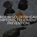 Fin Rot in Goldfish (Causes, Symptoms, Treatment, & Prevention)