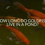 How Long Do Goldfish Live In A Pond?