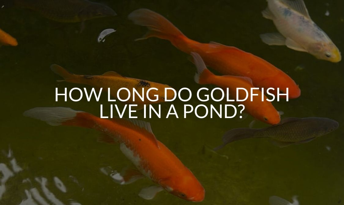 How Long Do Goldfish Live In A Pond_