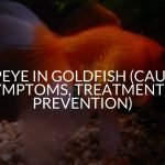 Popeye in Goldfish (Causes, Symptoms, Treatment, & Prevention)