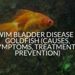 Swim Bladder Disease in Goldfish (Causes, Symptoms, Treatment & Prevention)