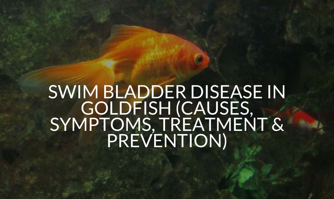 Swim Bladder Disease in Goldfish (Causes, Symptoms, Treatment & Prevention)