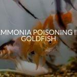 Ammonia Poisoning In Goldfish (Why It's So Dangerous)