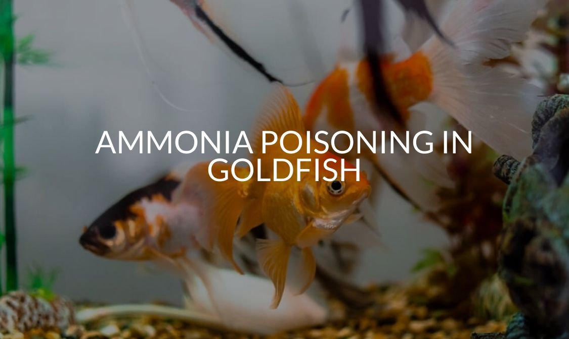 Ammonia Poisoning In Goldfish