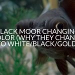 Black Moor Changing Color (Why They Change To White/Black/Gold)
