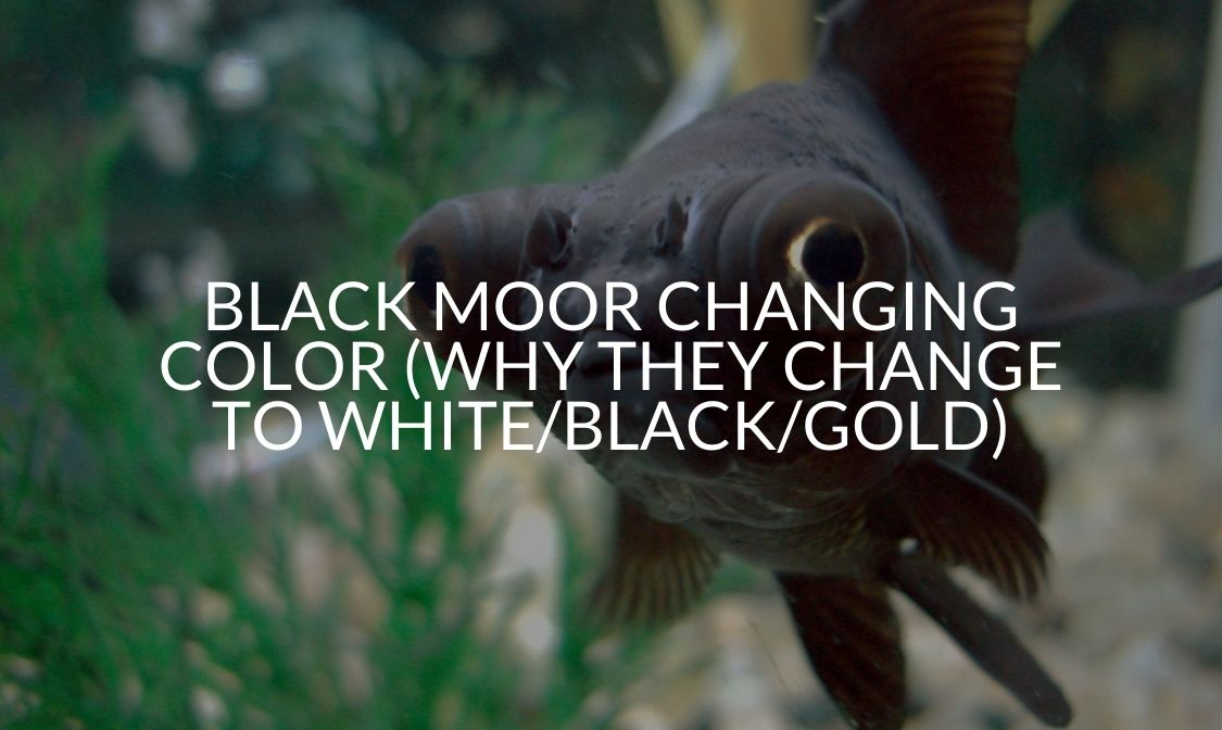 Black Moor Changing Color (Why They Change To White_Black_Gold)