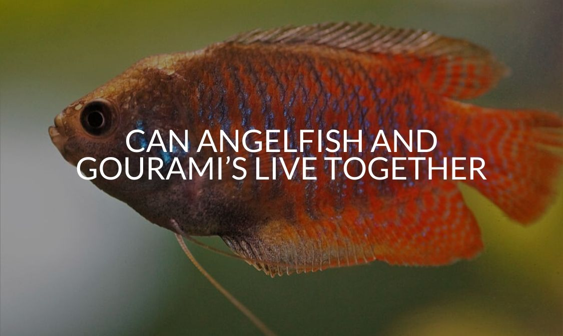 Can Angelfish And Gourami's Live Together