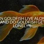 Can Goldfish Live Alone? (And Do Goldfish Get Lonely?)