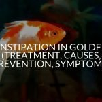 Constipation In Goldfish (Treatment, Causes, Prevention, Symptoms)