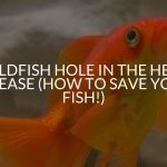 Goldfish Hole In The Head Disease (How To Save Your Fish!)