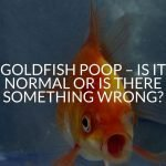 Goldfish Poop - Is It Normal Or Is There Something Wrong?