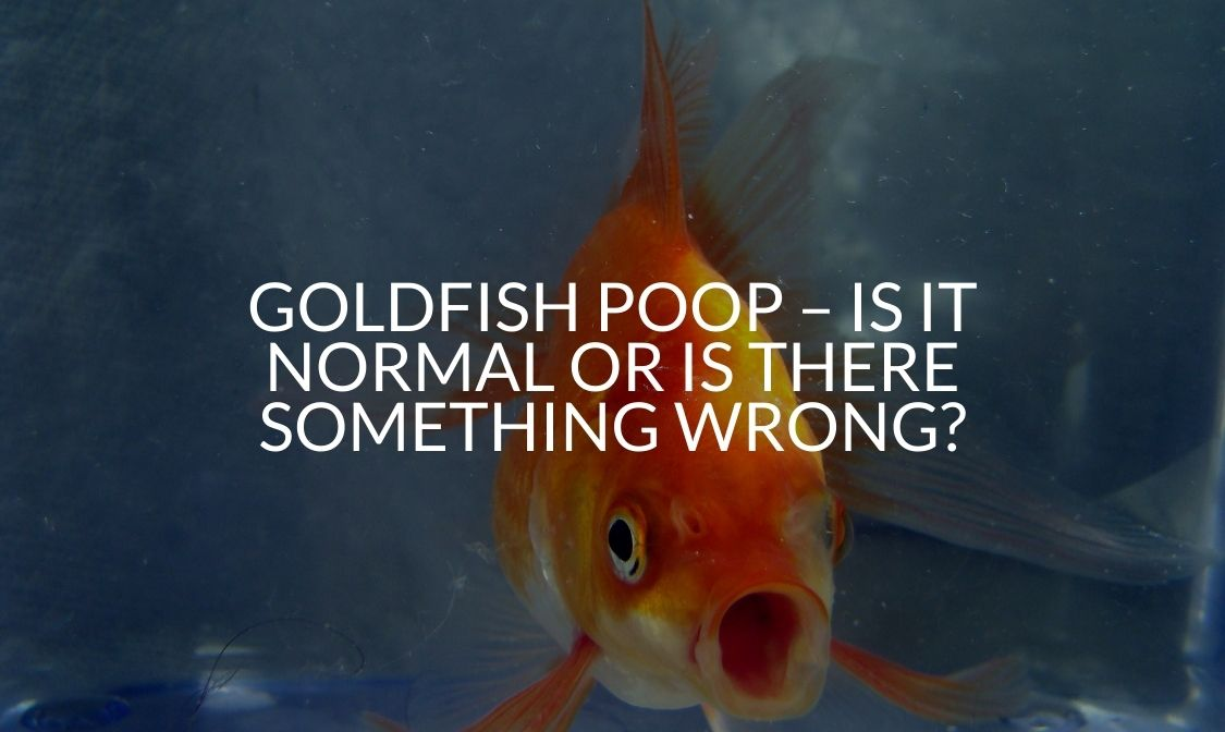 Goldfish Poop – Is It Normal Or Is There Something Wrong_