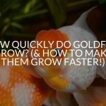 How Quickly Do Goldfish Grow? (& How To Make Them Grow Faster!)