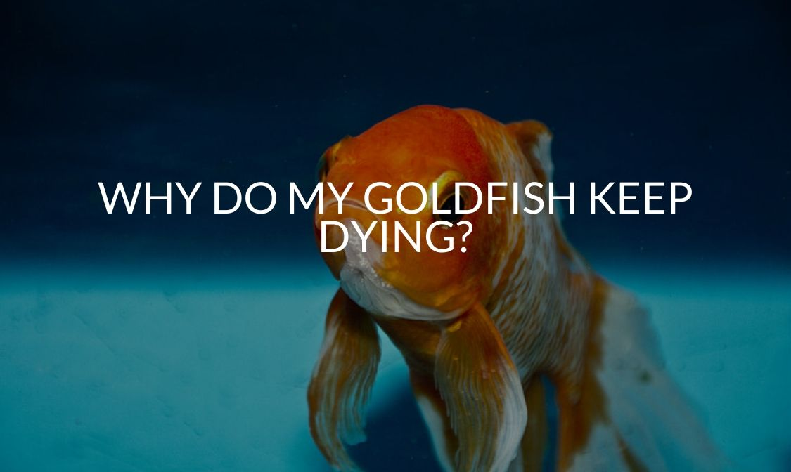 Why Do My Goldfish Keep Dying_