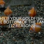 Why Is Your Goldfish At The Bottom Of The Tank? (12 Reasons)