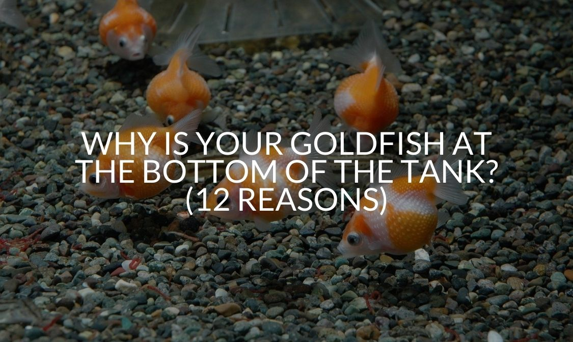 Why Is Your Goldfish At The Bottom Of The Tank_ (12 Reasons)