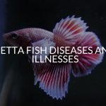 Betta Fish Diseases And Illnesses