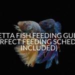 Betta Fish Feeding Guide (Perfect Feeding Schedule Included)