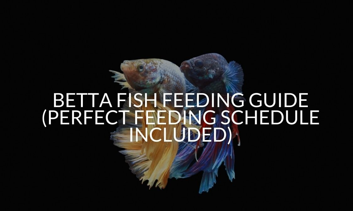 Betta Fish Feeding Guide (Perfect Feeding Schedule Included)