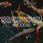 Can Goldfish And Koi Live Together? (Tips For Success)