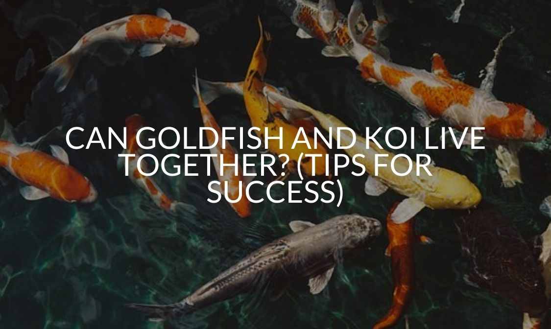 Can Goldfish And Koi Live Together_ (Tips For Success) (1)