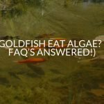 Do Goldfish Eat Algae? (All FAQ's Answered!)
