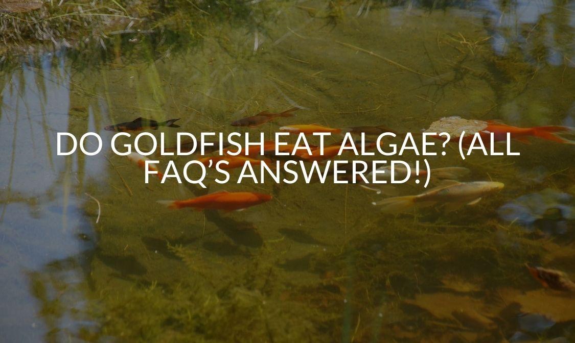Do Goldfish Eat Algae_ (All FAQ's Answered!) (1)