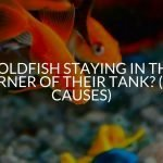 Goldfish Staying In The Corner Of Their Tank? (All Causes)