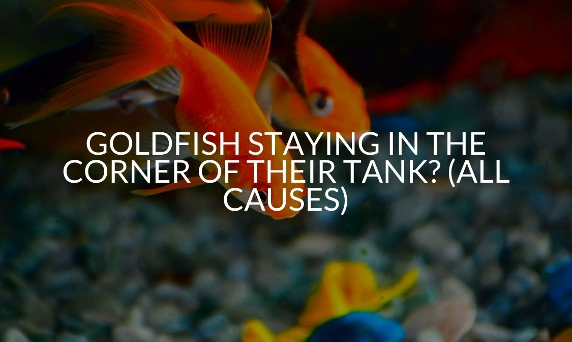 Goldfish Staying In The Corner Of Their Tank_ (All Causes) (1)