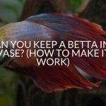 Can You Keep A Betta In A Vase? (How To Make It Work)