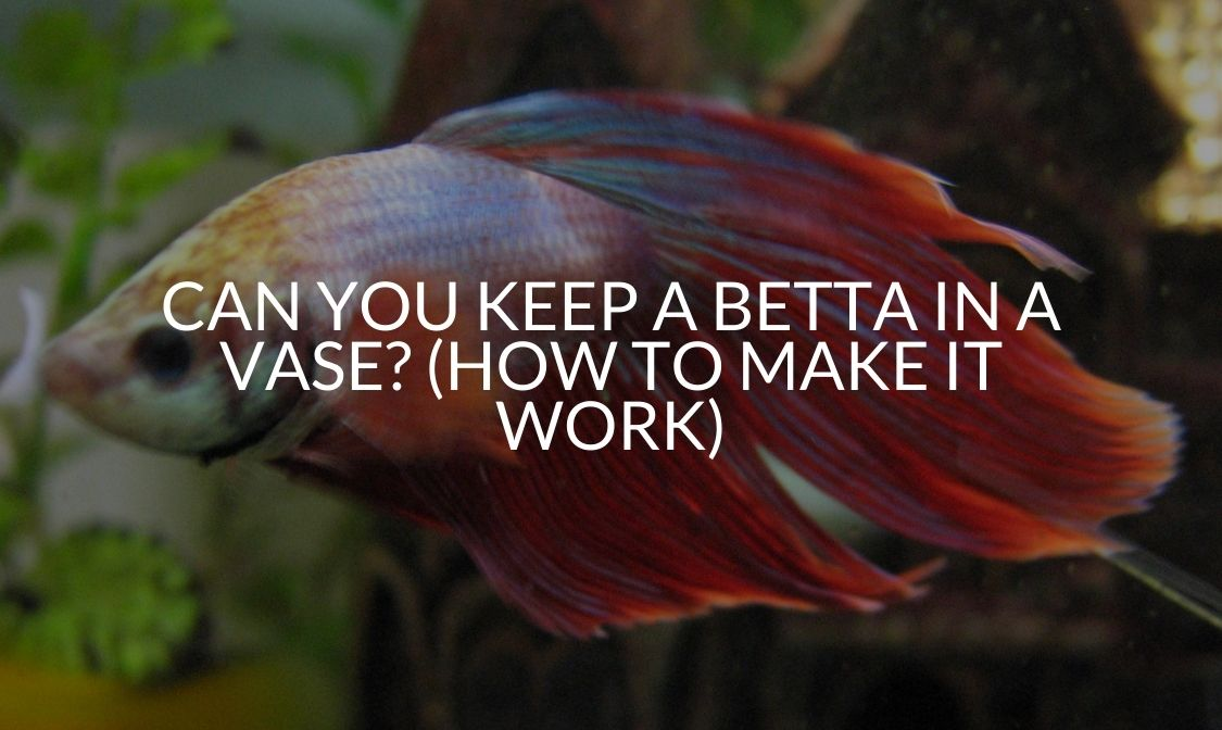 Can You Keep A Betta In A Vase (How To Make It Work)