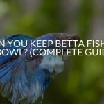 Can You Keep Betta Fish In A Bowl? (Complete Guide)
