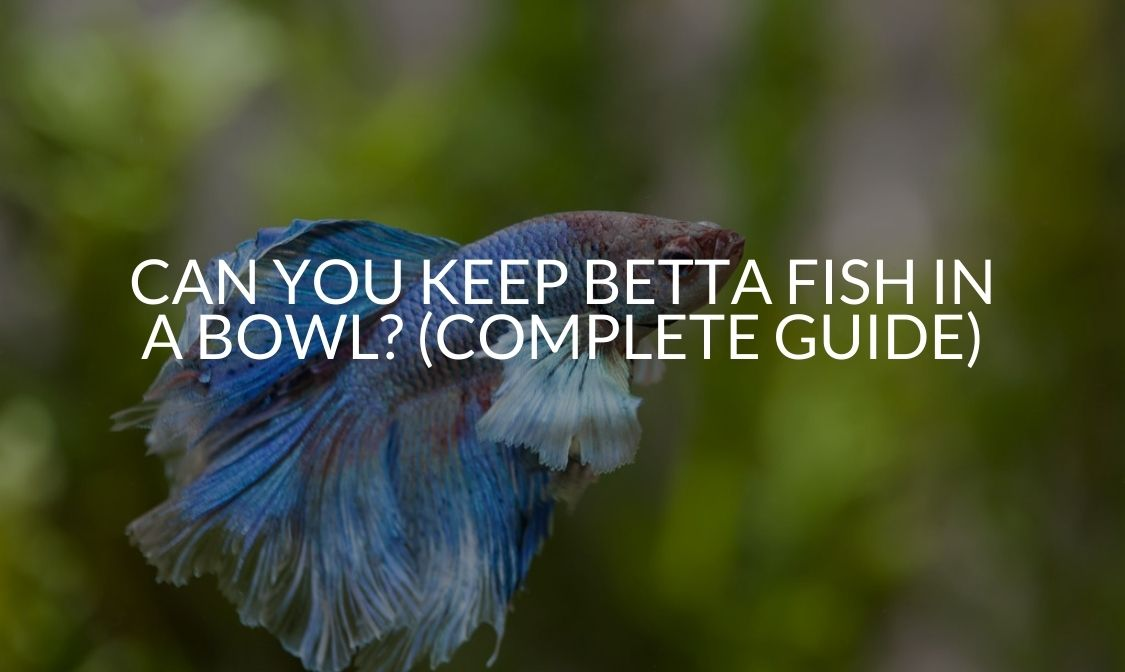 Can You Keep Betta Fish In A Bowl (Complete Guide)