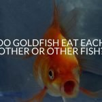 Do Goldfish Eat Each Other Or Other Fish?