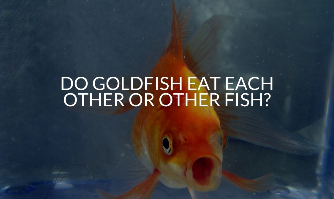 Do Goldfish Eat Each Other Or Other Fish_