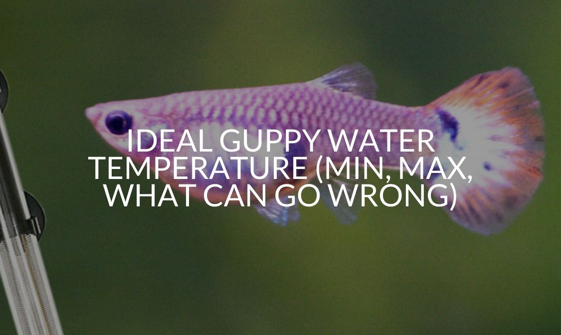 Ideal Guppy Water Temperature (Min, Max, What Can Go Wrong)
