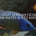 16 GREAT African Cichlid Tank Mates (& 9 To Avoid)