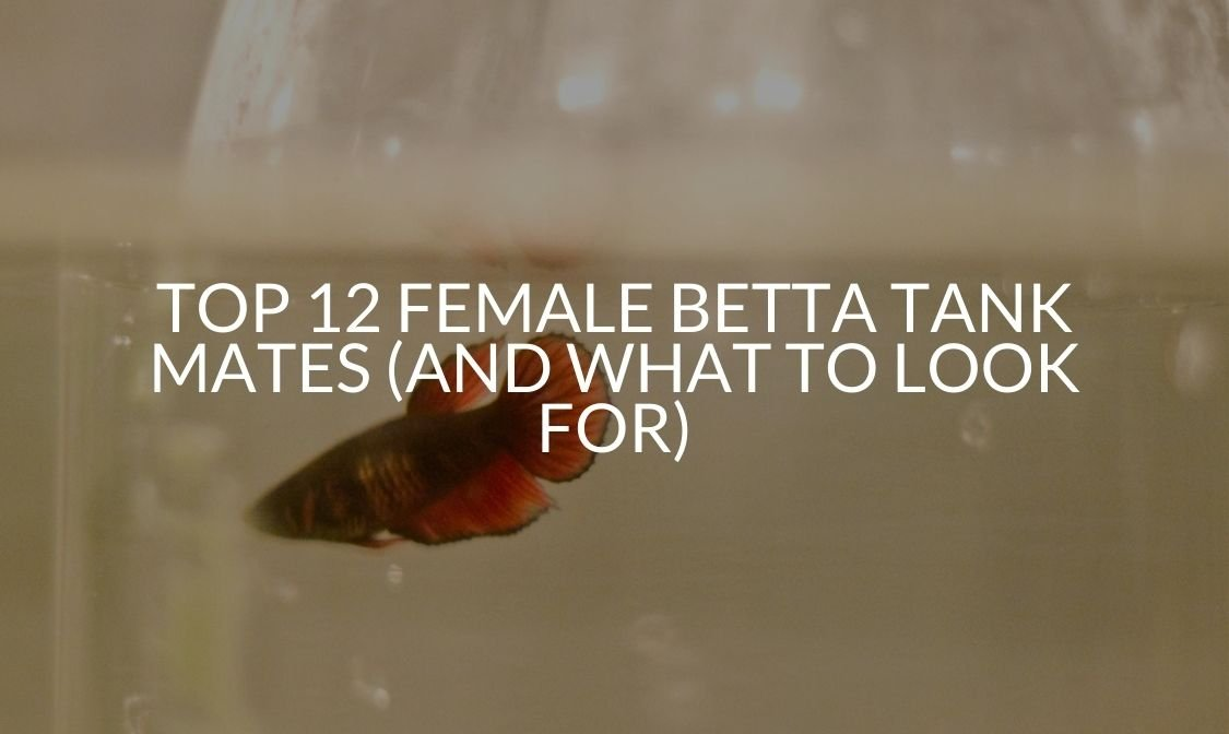 Top 12 Female Betta Tank Mates (And What To Look For)