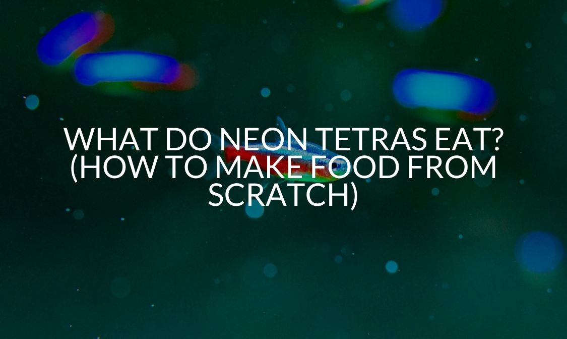 What Do Neon Tetras Eat (How To Make Food From Scratch)