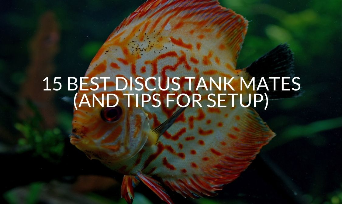 15 Best Discus Tank Mates (And Tips For Setup)