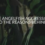 Are Angelfish Aggressive? (And The Reasons Behind It)