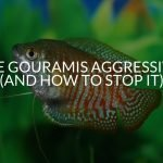 Are Gouramis Aggressive? (And How To Stop It)