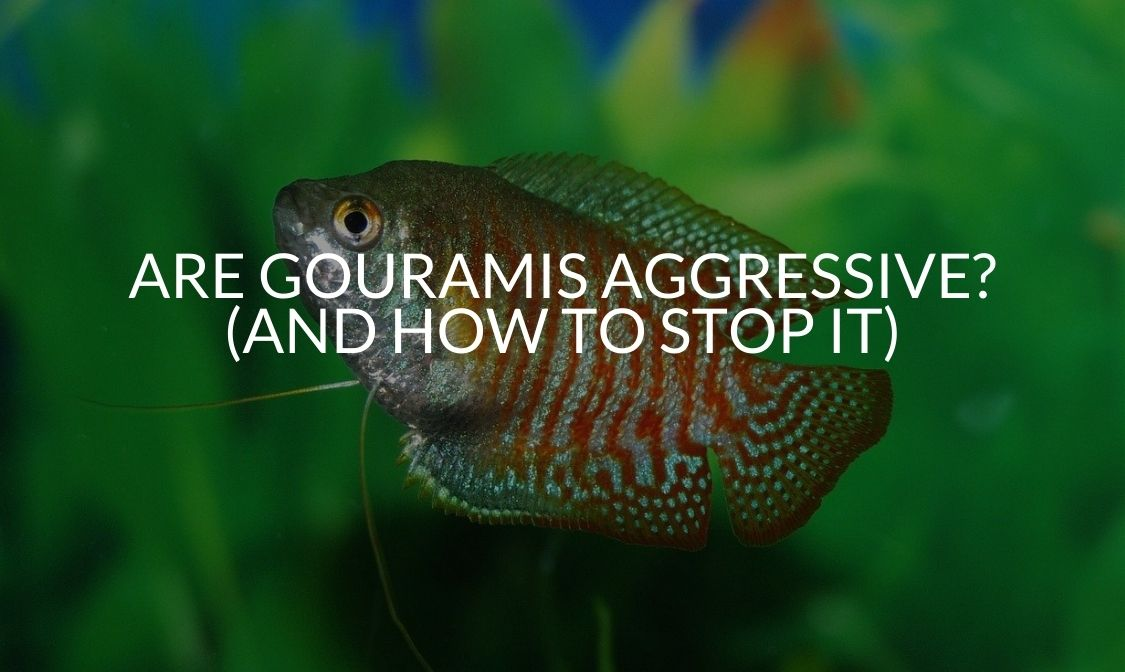 Are Gouramis Aggressive (And How To Stop It)