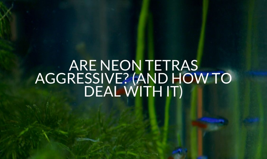 Are Neon Tetras Aggressive (And How To Deal With It)